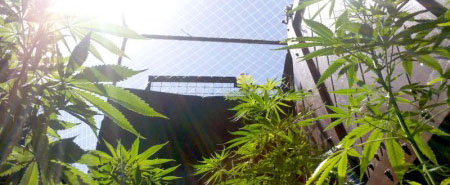 Guía para regar las plantas de marihuana con la sangre menstrual